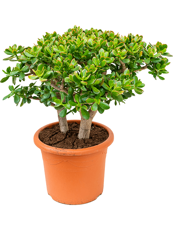 Crassula ovata 'Sunset' Busch 40/32 90 - Pflanze - Main image