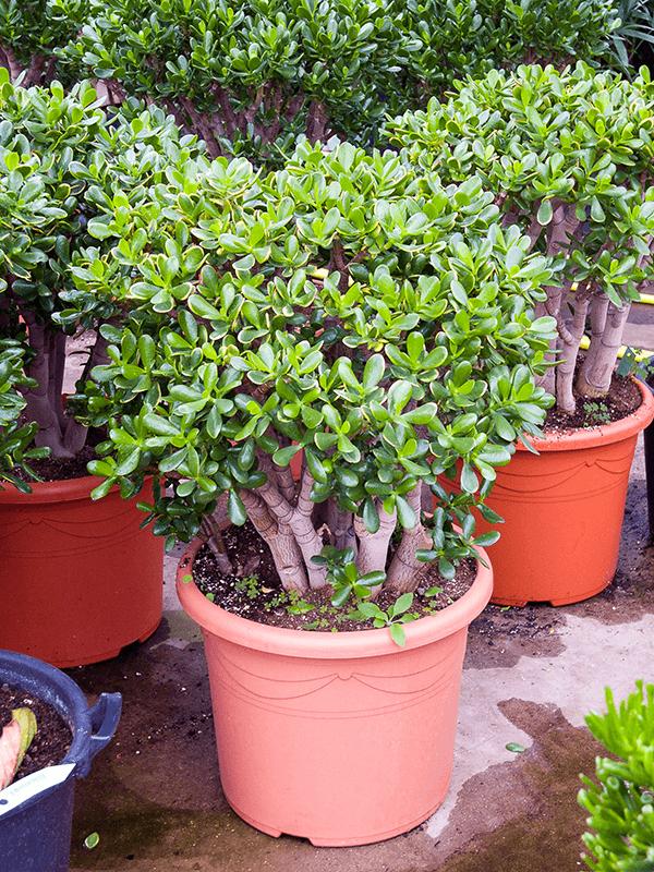 Crassula ovata 'Sunset' Busch 48/40 100 - Pflanze - Main image