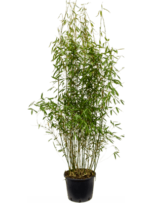 Fargesia murieliae 'Jumbo' Bush 32/26 120 - Plant