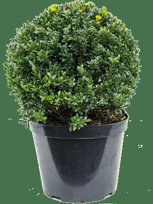 Ilex crenata maxima Bol (45) 32/26 60 - Plant