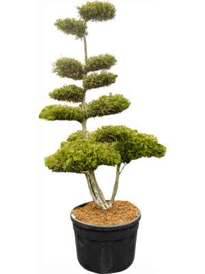 Juniperus chin. kuriwao gold