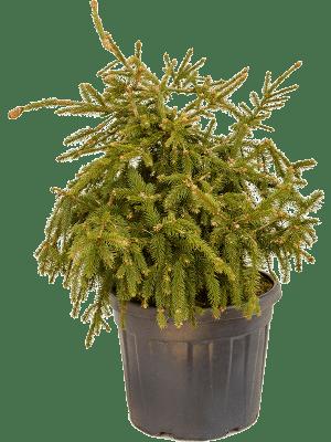 Picea abies acrocona
