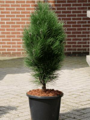 Pinus nigra green tower
