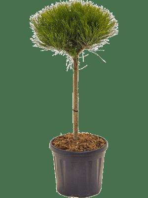 Pinus 'Marie Bregeon' Stem/crown (h40/Ø25-30) 26/22 80 - Plant