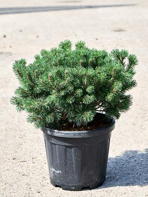 Pinus mugo 'Mops' Bush 33/30 60 - Plant
