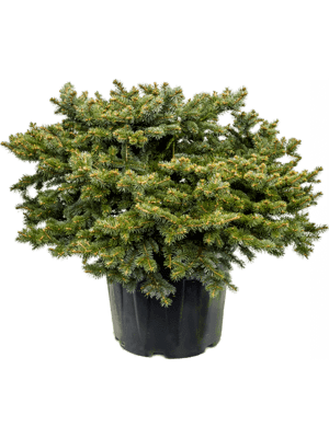 Picea pungens glauca globosa