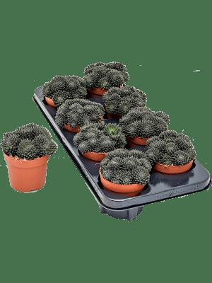 Sinocrassula yunnanensis 8/tray