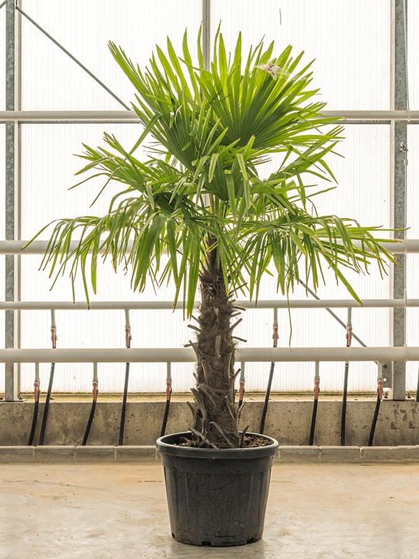 Trachycarpus fortunei Stam (70) 45/40 170 - Plant - Main image