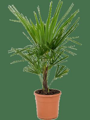Trachycarpus fortunei Stam (10) 23/23 70 - Plant