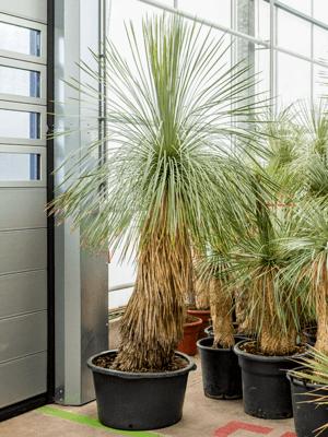 yucca linearifolia ssp. galeana