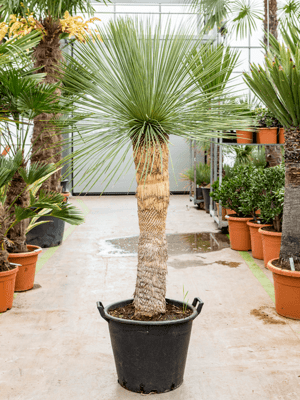 Yucca linearifolia