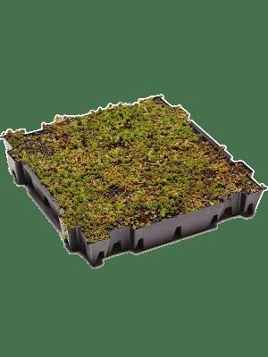 Sedum tray (live plants)