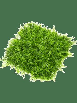 Fern Juniperus