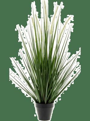 Grass alopecurus