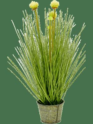 Allium grass