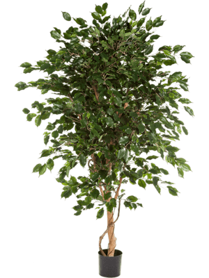 Ficus exotica de luxe