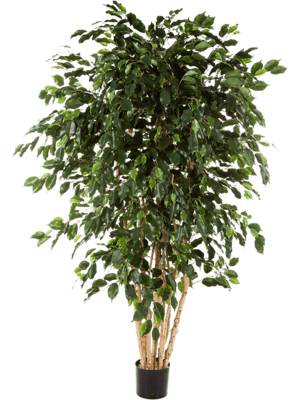 Ficus exotica Branched - Artificial