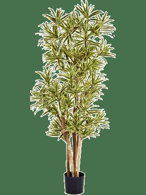 Dracaena reflexa Branched - Artificial
