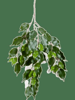 Ficus Exotica Spray