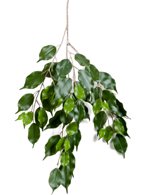 Ficus exotica spray