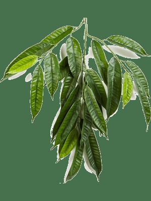 Fat longifolia spray