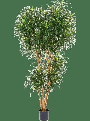 Dracaena reflexa anita Branched - Artificial