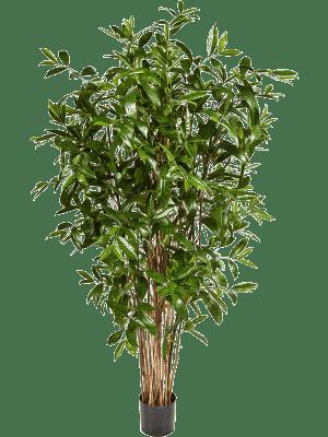 Dracaena surculosa Branched - Artificial